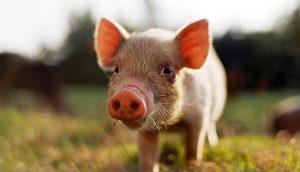 свинка - символ 2019 года