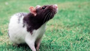 Гороскоп Крысы на Декабрь 2018 года