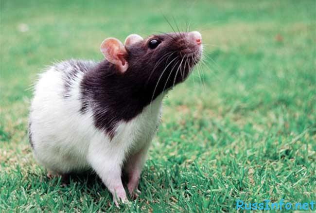 Гороскоп Крысы на Декабрь 2020 года