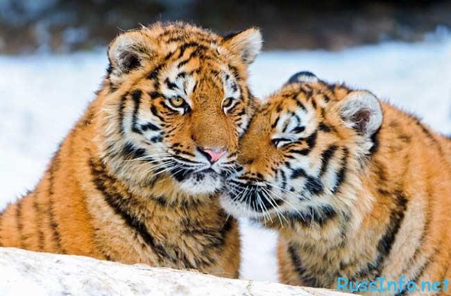 Гороскоп для тигров на 2016 год любовный