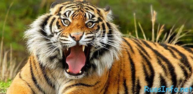 восточный гороскоп на 2018 год Тигр