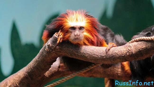 обезьяна - символ 2016 года