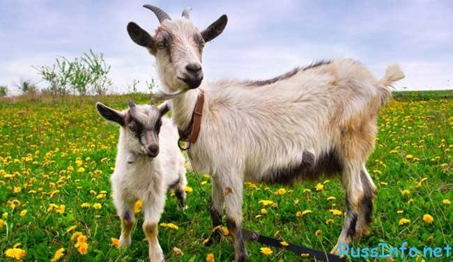 Год восточный козы рождения гороскоп для
