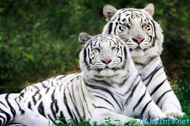 китайский гороскоп на 2020 год для Тигра