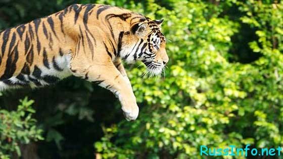китайский гороскоп на 2019 год для Тигра