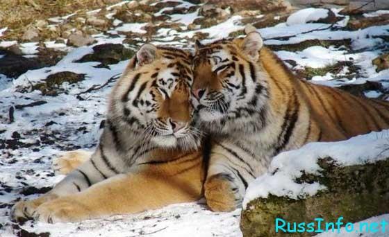 что ждет Тигра в 2019 году по восточному гороскопу