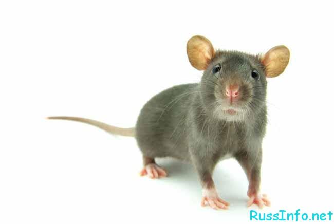 восточный (китайский) гороскоп на 2019 год для Крысы на ноябрь