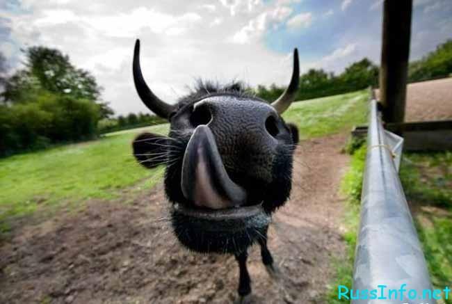 бык с язычком