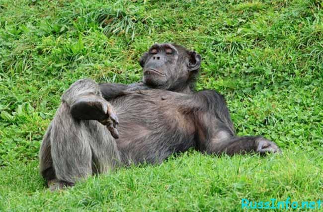 обезьяна отдыхает