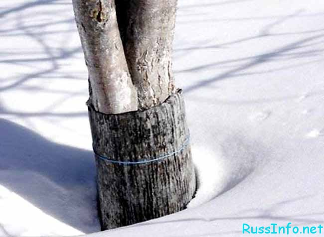 закрытые деревья на зиму
