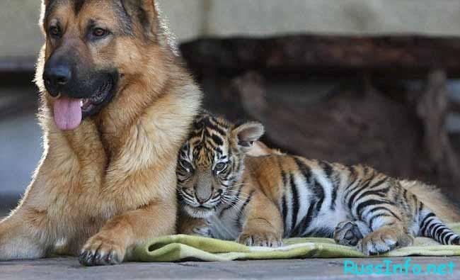 собака с тигренком