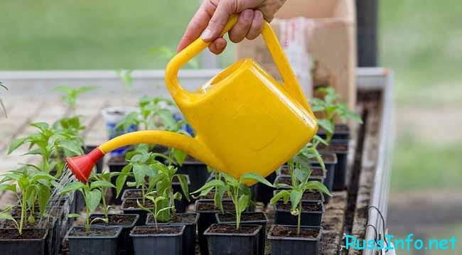 поливают рассаду