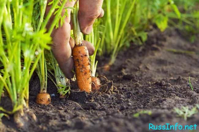 гряды с морковью
