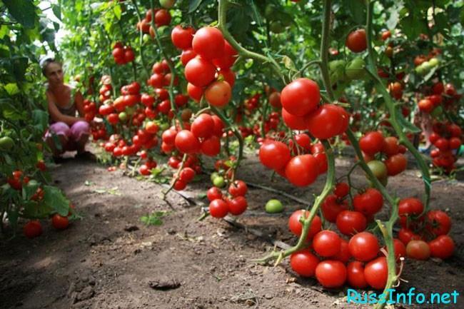 урожай помидорчиков