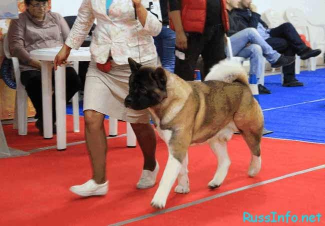 Соревнование в международной собачьей выставке