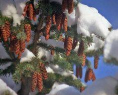 шишки под снегом