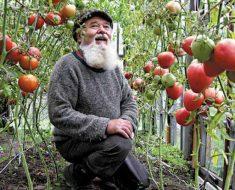 быстро приживающимися в данном регионе культурами являются огурцы, томат
