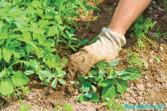 обращать внимания на такие сорта растений...