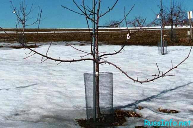 Нужно утаптывать снег вокруг деревьев