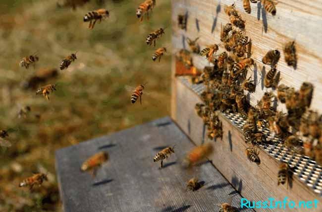 пчёлы прячутся в улей – быть дождю